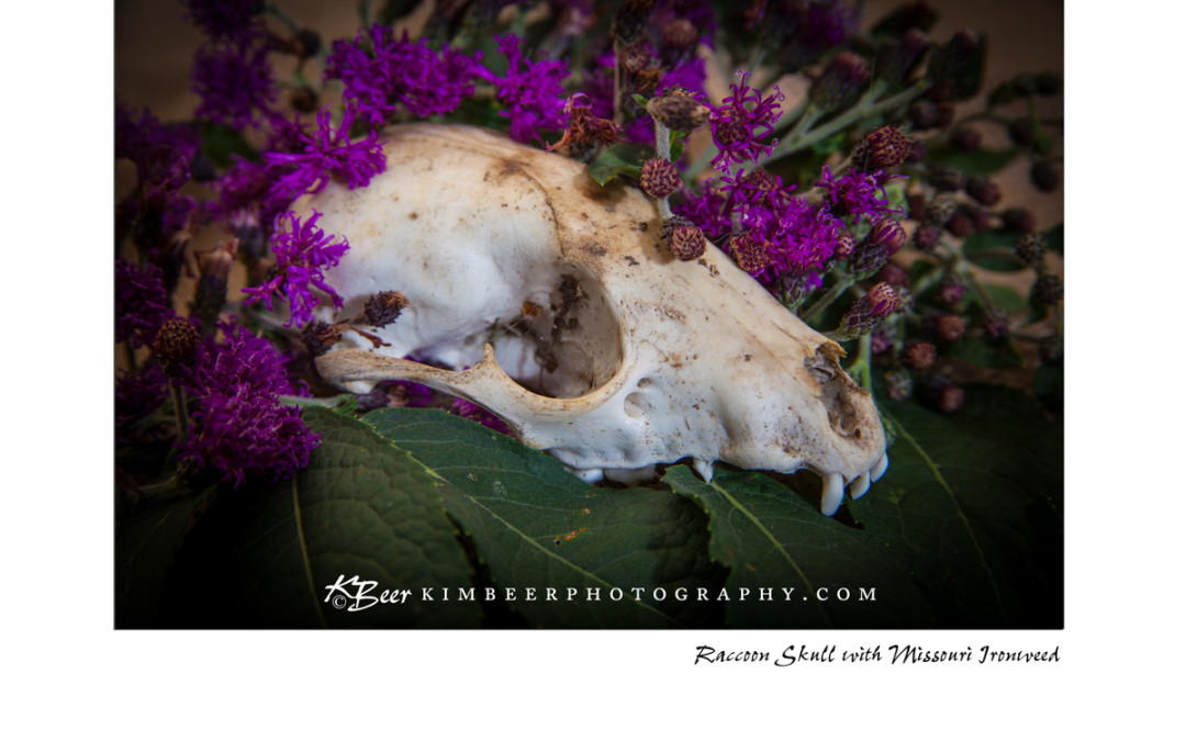 Raccoon Skull with Ironweed